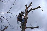 Likvidace jmelí, které parazituje na stromech ve Valašském Meziříčí; úterý 19. března 2019