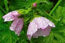 Květiny v dešti