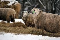 Ovce jsou celoročně venku
