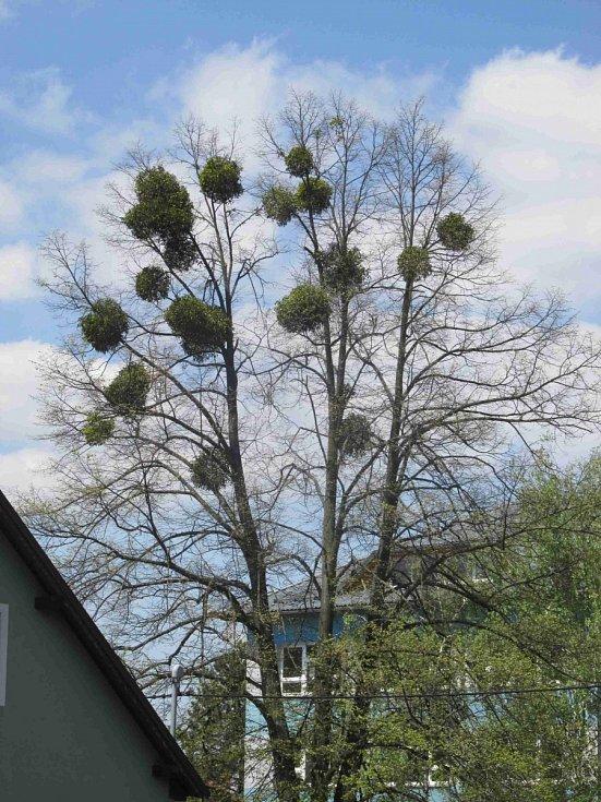 Cizopasné jmelí strom postupně zničí