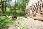 Sedmiletému samci Fufimu přidal chovatel do výběhu vloni kamarádku - samici Ljůvu. Automatický systém otevírá dveře a pouští je ven na střídačku.