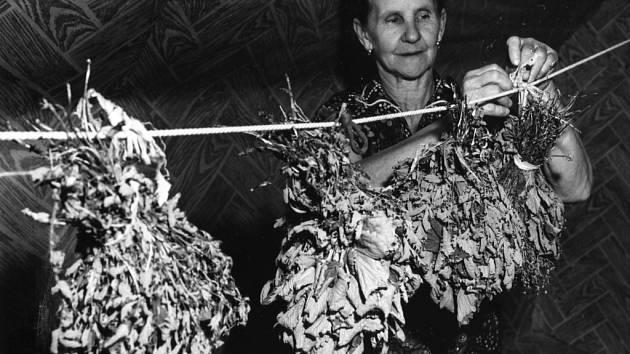 Sušení léčivých bylin – Anežka Martyščáková, Karolinka, údolí Stanovnice, 1977.