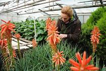 Vedoucí zahradnictví ve společnosti Městské lesy a zeleň Valašské Meziříčí Markéta Trefilová pečuje ve skleníku o kvetoucí aloe pravé; čtvrtek 12. března 2020