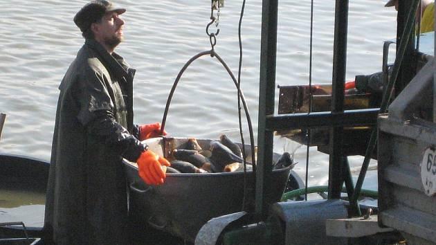 Z rybníka rybáři postupně vylovili candáty, kapry, štiky i amury.