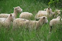Kromě psů a elektrických ohradníků přichází ovčákům na pomoc také další zvířata. Ilustrační foto.
