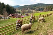 Ovce budou spásat trávu po celém golfovém areálu. Výjimkou je prostor v bezprostřední blízkosti jamek.