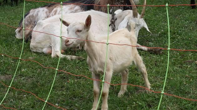 Uhynula i březí samička. V brněnském Komíně někdo tisem otrávil jedenáct koz