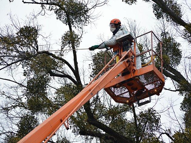Stromy v městském parku Panská zahrada ve Vsetíně jsou napadeny jmelím. Radnice se rozhodla, že místo obvyklého ořezu vyzkouší k likvidaci tohoto parazita speciální postřik.