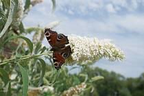 Komule Davidova láká motýly