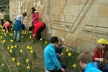Žáci základní školy ze vsetínského Sychrova se o desítky žlutých narcisů před školou příkladně starají.