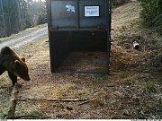 Zhruba metrák vážící medvědice před nastraženou odchytovou klecí v oblasti Lysé hory v Beskydech; pondělí 8. dubna 2019
