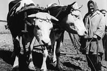 Vláčení kravským potahem v jařmicích – manželé Baroňovi, Mikulůvka, na Čarabovské.
