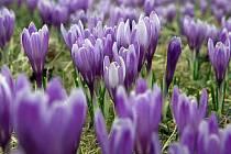 Jaro se ohlásilo rozkvetlými šafrány