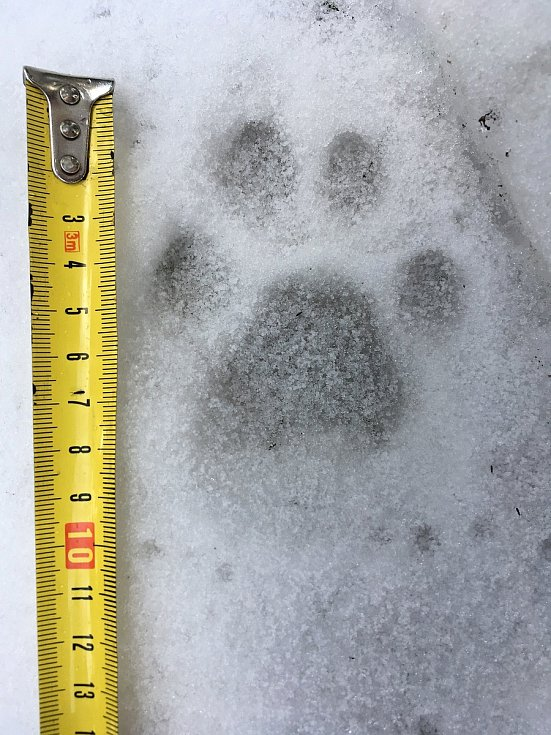 Stopa rysa nalezená při letošním mapování velkých šelem v Beskydech; únor 2020