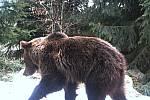 Medvěd zachycený fotopastí v Javorníkách v sezoně 2017/2018.