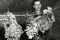 """Sušení léčivých bylin, takzvaných """"zelin"""" ve Stanovnici na Valašsku, rok 1977."""