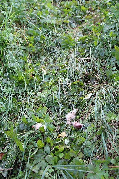 Medvěd roztrhal pět ovcí, kořist protáhl pod plotem a táhl k potoku.