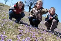 V Lačnově rozkvetly chráněné šafrány. Nejvíce se jich objevilo za Mateřskou školkou a v lokalitě Sucháčkovy paseky