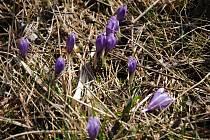 Šafrán bělokvětý kvetoucí v Lačnově na Hornolidečsku; sobota 14. března 2020