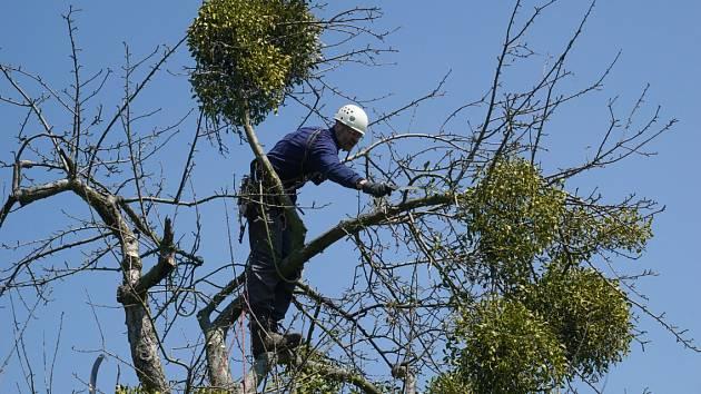 Dubnového ošetření starých stromů v jabloňové aleji na Hradisku