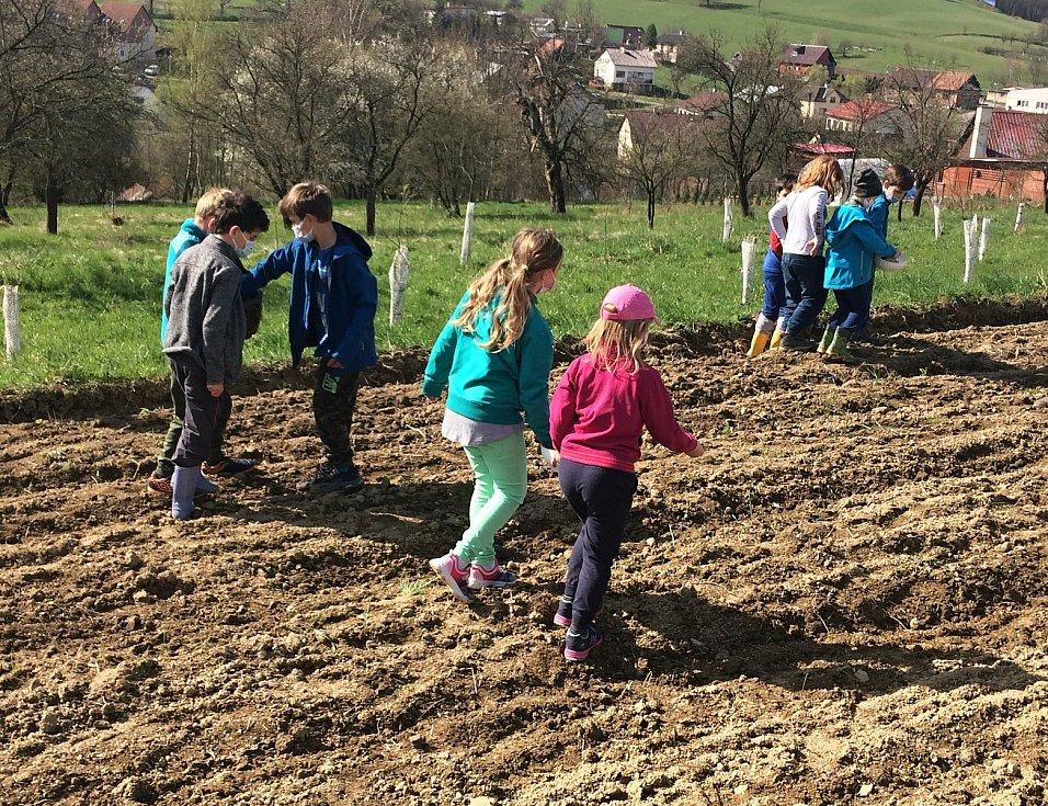 Žáci druhé třídy základní školy ve Francově Lhotě seli počátkem května obilí na poli rodičů kardinála Štěpána Trochty.