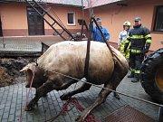 Hasiči vyprošťovali býka z hnojiště.
