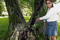 Na první pohled krásné stromy zdobící zámecký park v Nové Vsi u Chotěboře, v němž leží dětský domov. Druhý pohled už tak příjemný není. Stromy jsou často ve velmi špatném stavu.