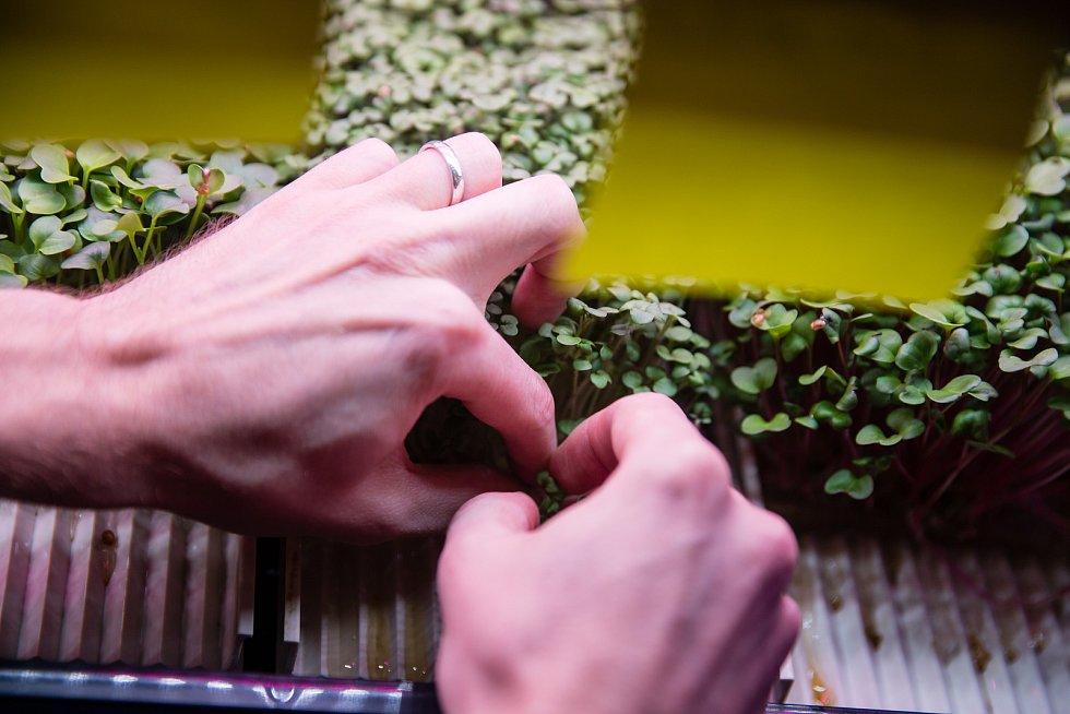 Pěstování mikrobylinek firmy Gadenauts v Chotěboři.