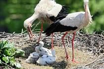 Obsazená hnízda. Na Havlíčkobrodsku je podle posledního průzkumu ornitologů pouze čtrnáct hnízd, která čápi bílí obsadili. Ilustrační foto: