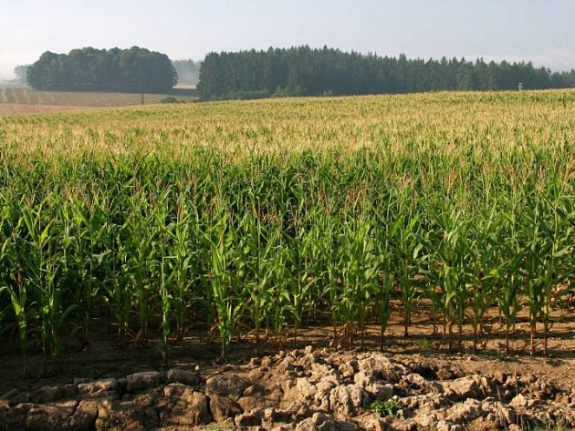 Bázlivec kukuřičný. Nebezpečný škůdce měří pouhé 4 mm, ovšem dokáže téměř stoprocentně zlikvidovat kukuřičné pole.