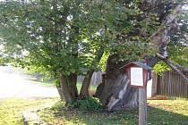 Lípu zahubilo houbové onemocnění. Torzo kmene bylo vysoké 5 metrů, jeho obvod dosahoval 420 centimetrů.