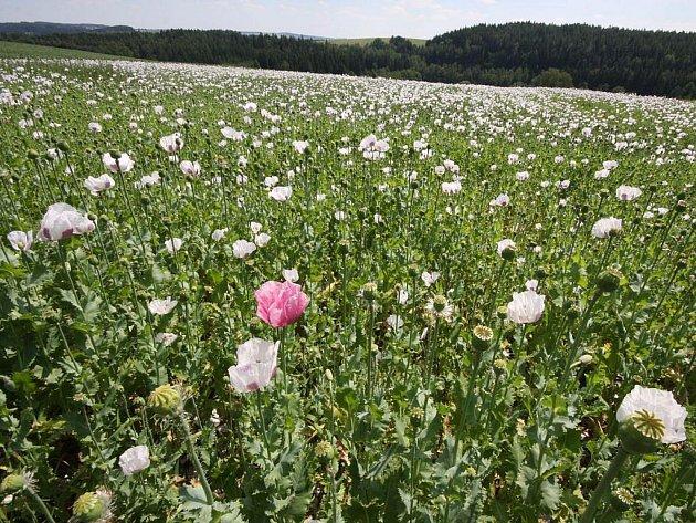 Maková pole, která byla dříve pro mnoho zlodějů zdrojem přivýdělku, už nejsou tolik v kurzu. Zemědělský mák už totiž obsahuje návykovou látku jen sporadicky. Snižuje se také nejen rozloha pěstovaného máku, ale i jeho kupní cena.