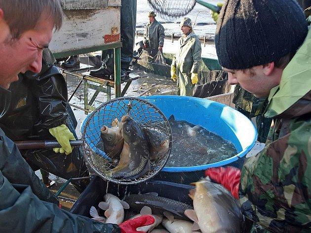 V sítích rybářů skončí až dvacet tun ryb. Především pak kaprů, kteří ve vodách Řeky dorostli do požadované hmotnosti.