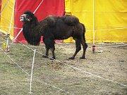 Na celé čtyři dny zavítal do Havlíčkova Brodu cirkus King.