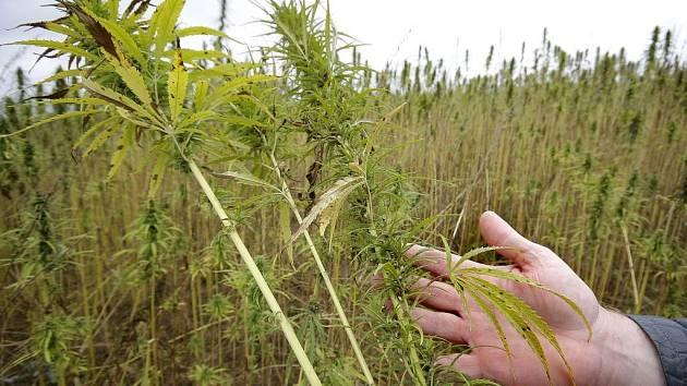 Výška rostlin, tvar listů i charakteristická vůně. Vše je téměř identické s konopím setým, leč chyba lávky! Technické konopí neobsahuje látku THC a využívá se ryze hospodářsky. Vyrábí se z něj provazy a izolační materiály.