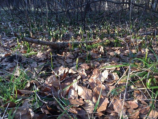 V lokalitě Starého Ranska každoročně rozkvétají desítky tisíc bledulí.