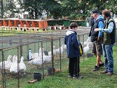 Stále více chovatelů se dnes věnuje chovu hus a kachen. Vidět to bylo i na výstavě v Ledči.