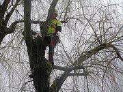 Stromy na Kalinově nábřeží v Brodě upravují arboristé.