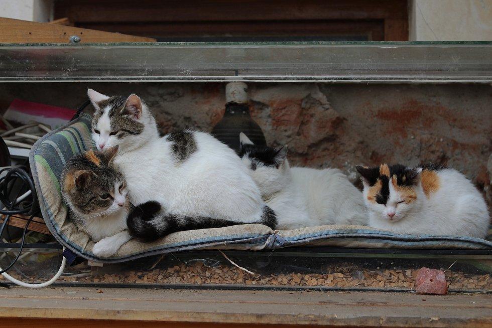 Kočky domácí