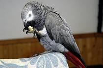 Papoušek šedý je podle Ulrichové u nás nejvíce chovaným druhem velkého papouška. Ilustrační foto.