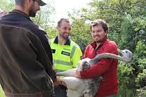 Odchyceného pštrosa předali policisté ochráncům přírody ze stanice Pavlov.