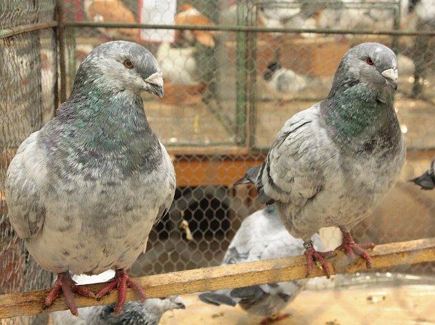 Výstava holubů ve Vepříkově.