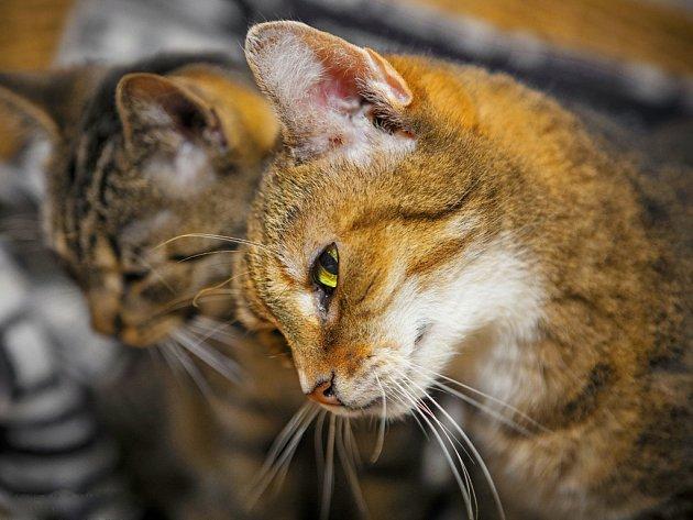 Kočky ve skrýšovském útulku vypadají spokojeně a zdravě.