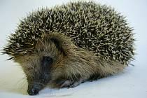 Na záchranu ježků je ještě čas