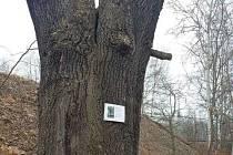 Smutný osud víc než stoletého dubu v lokalitě U Traplů nedá spát některým městským zastupitelům.