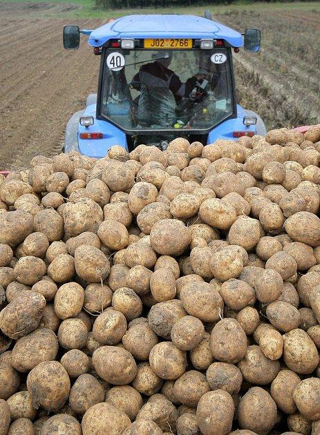 Letošní výnosy konzumních i sadbových brambor mají k těm loňským daleko.