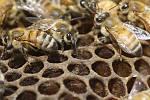 Kraj vyplatí peníze na náklady, spojené s vyšetřením moru včelího plodu,  ilustrační foto .