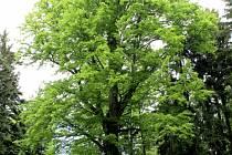 Sto let starý strom roste nedaleko Peršíkova.