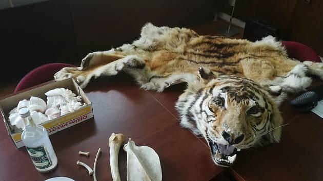 Zabavené části tygra, které byly určené k využití v asijské medicíně