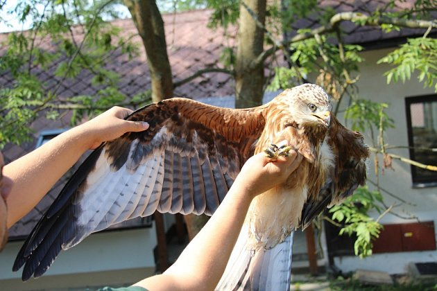 Mládě. Popálený luňák se do přírody vrátit nemůže, přišel o část křídla.